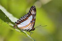 Een vlinder op een koffieplantage in Coatepec, Veracruz, Mexico.