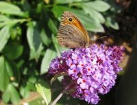 Meadow brown butterfly (bruin zandoogje)