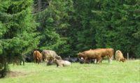 Kravičky na Šumavě- Cows in the Bohemian Forest