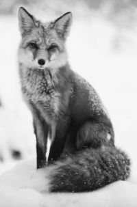 Fierce Fox