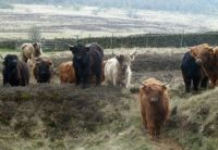 Highland cattle on the moor