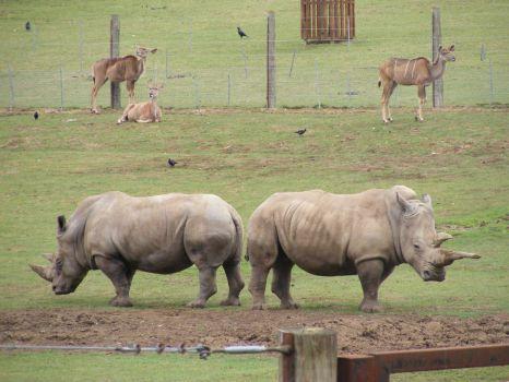 Rhino Book-Ends