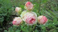 růže First Lady