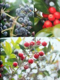 Audrey's berries