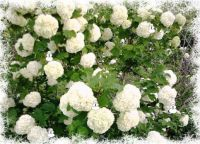 Snowball Bush Winter