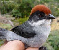 Antioquia Brush-Finch