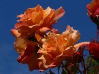 Rose 'Autumn Sunset'