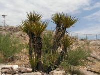 Joshua Tree of Arizona