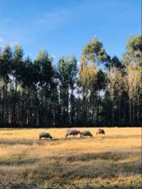 Galicia Sheep