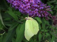 Brimstone Butterfly on our buddleia