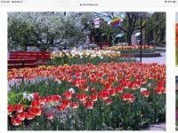 Holland, Mi Tulip Festival