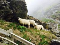 Tintagel Castle Sheep