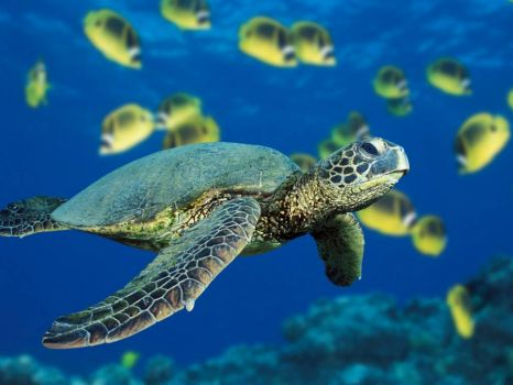 greenback turtle