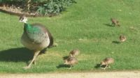 Peahen and chicks - residents of our Lakes