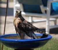 Red shouldered hawk after bath