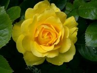 Portland Oregon yellow rose