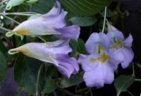 BLUE_ANGEL_IMPATIENS... FROM ASIA...