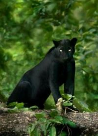 Beautiful panther!