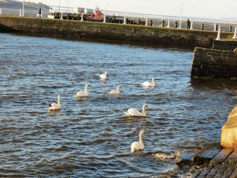 Swans in Broughty Ferry Harbor