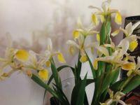 Montagu Irises