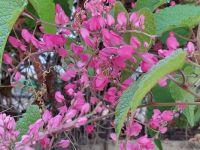 deep pinky-purple flowers