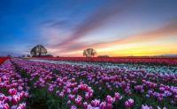 flowersfield2