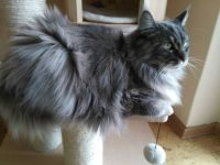 GINUSIA Maine Coon.