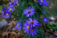 Violet Aster - Small