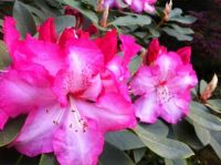 Rhodie in Two-toned Pink