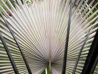 A Fan palm from David