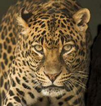 2  ~ 'The Leopard Stare'