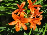 Solid orange lilies