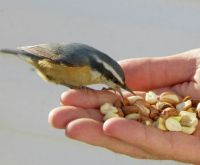 Hand feeding nutty