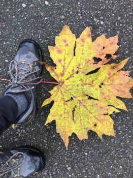 Big Leaf Maple Leaf