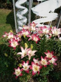 Několik lilií