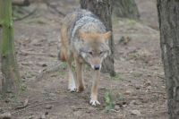 Wolf......Highland Wildlife Park