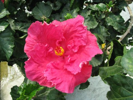 A beautiful pink Hibiscus