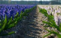 flowers-fields-lavender