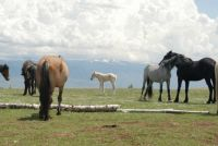 PRYOR MOUNTAIN HORSES  and baby IMAGE
