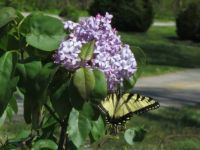 Butterfly on Hydrangea