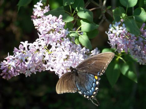 Butterfly on Lilac 1