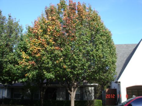 Around Town~Bradford Pear Tree