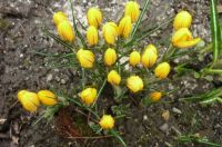 Misery in the Crocus patch !