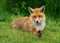 2.  ~  The Fox.
