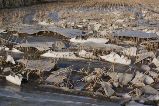 Ice in corn field.