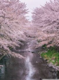 Cherry blossoms by a river