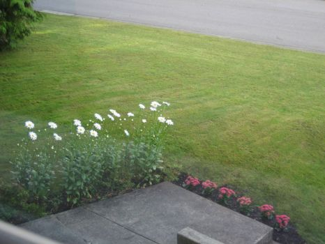 Daisies at front of buddy's home in Delta