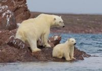 Norwegian Polar Bear and Cub
