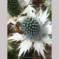Miss Wimott's Ghost Giant Sea Holly