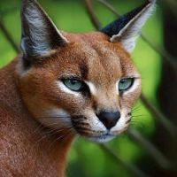 Wild for Wildlife and Nature - Caracal